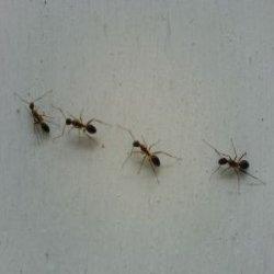 ants walkin in a line