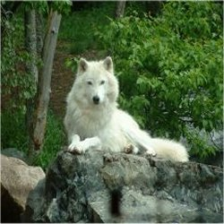 acrtic wolf on a rock